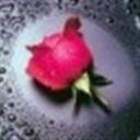 玫瑰情敌(103179)