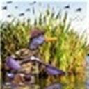 野鸭117336(117336)