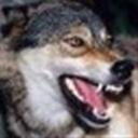 wolfczw(108139)