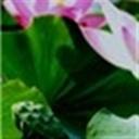 lotus104185(104185)