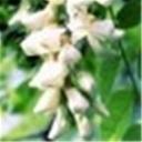 槐花(100278)