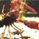 大头虾116331(116331)