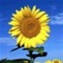 向日葵sf(102529)