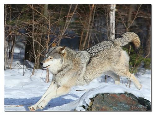 狼1 智慧灵性的动物 回复(0)|收藏(0)|3次浏览| 卓别猫(长春)  男&nbs