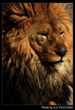 狮---头像
