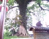 宋城-千年古樟