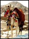 游览金字塔的时候总会看到这样可爱的非洲骆驼01