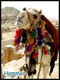 游览金字塔的时候总会看到这样可爱的非洲骆驼02