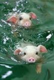 PigOlympic