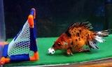 fish football